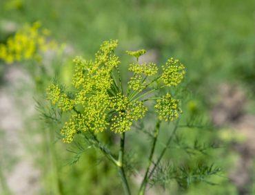Benefícios da erva-doce